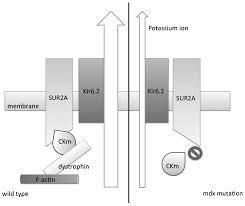 Indeed Ckm Adenosine Triphosphate Sensitive Potassium Channels And