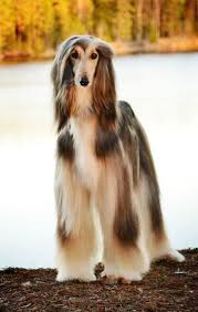 afghan hound long haired dogs 68 best hound images on pinterest animals dogs and afghan hound