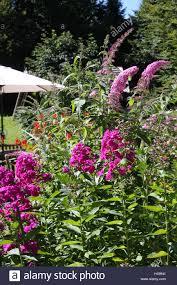 Flowers Plants by Garden Flowers Phlox Pink Summer Garden Flowers Plants Stock