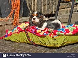 Coloured Rug A Cavalier King Charles Spaniel Dog Sitting On A Multi Coloured