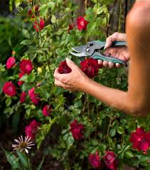 female trimming a climbing rose bush with a pair of clippers
