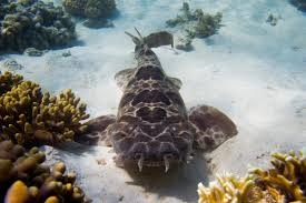Northern wobbegong