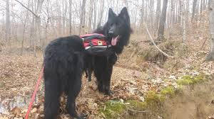 belgian sheepdog chow mix my black german shepherd aww