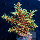 Image result for Acropora awi