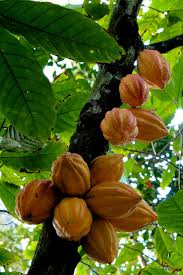 What Is Flower Food by Theobroma Cacao Wikipedia
