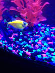 pregnant glofish