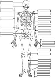 skeleton label worksheet with answer key science fun pinterest