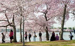thanksgiving in dc here u0027s when to catch cherry blossoms in all their glory in d c