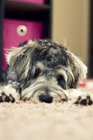 belgian sheepdog crossword clue miniature schnauzer for sale los angeles u2013 dog