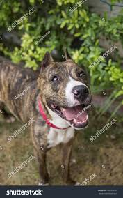 belgian malinois ear cropping brindle pitbull cropped ears posing her stock photo 148691648