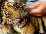 Tigres são enviados à África para aprender a caçar