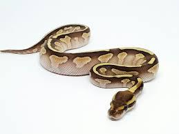 butter fire morph list world of ball pythons