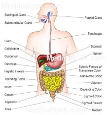 digestive system example mindmeister