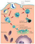 La <b>fagocitosis</b>.