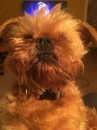 affenpinscher brown lost dogs in maysville ky lost my doggie