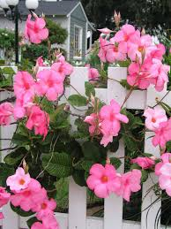 mandevilla flower of the day hgtv