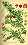 File:Illustration <b>Taxus</b>