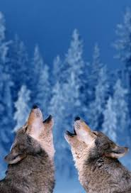 190 best wolf images on pinterest animals drawings and wolf spirit