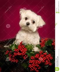 maltese dog christmas related keywords u0026 suggestions maltese dog