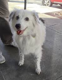 australian shepherd and lab mix dog of the day phoebe the australian shepherd mix the dogs of