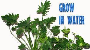 grow indoor plants in water for years youtube