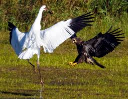image whooping crane vs bald eagle png all birds wiki