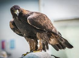 golden eagle returns to the fold animal life