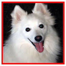 american eskimo dog lion cut puppies for sale dogs for sale 2013 june