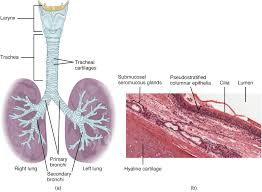 Anatomy And Physiology Of Lungs Organs And Structures Of The Respiratory System Anatomy And