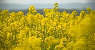 Tree With Bright Yellow Flowers - mimosa mimosa spring flowers easter background blooming mimosa