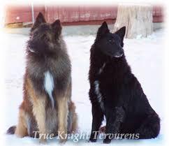 belgian sheepdog breeders in texas double k ranch true knight tervurens