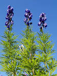 <b>Aconitum</b> napellus (garden monkshood): Go Botany