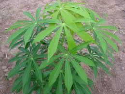 image of a cassava plant, borrowed from t3.gstatic.com