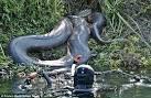 รวมภาพ อนาคอนด้ายักษ์ 6 ตัว ที่นักสำรวจพบบริเวณ ป่า