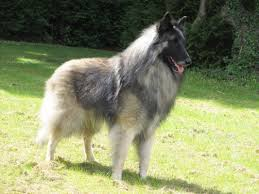 belgian shepherd uk breeders niavana belgian shepherds niavana belgian shepherds