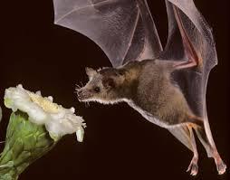 Bats Pollinate Flowers