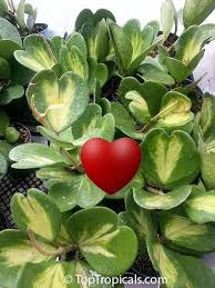 37 best plants color white variegated images on pinterest garden