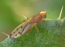 Opomyzoidea