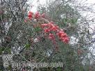 Image result for Ephedra sinensis