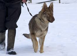 belgian shepherd uk breeders dogs who have found a home dog rehoming northumbria police