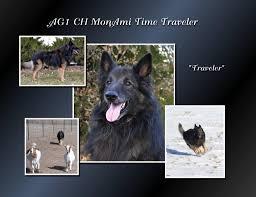 belgian sheepdog breeders in texas beowulf belgian tervuren puppies for sale