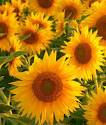 Wallpapers Backgrounds - Download Sunflower 4045 Nature Landscape Mobile Wallpapers 352x416px