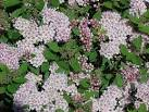 <b>Spiraea</b> japonica &#39;Little