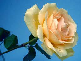 வால்பேப்பர்கள் ( flowers wallpapers ) 01 - Page 12 Images?q=tbn:ANd9GcQvjgYib2IFa3rufXgeMTzgcW_TKqqgMWIy35QD-1sO4vYWze34TA