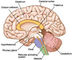 Sheep Brain Anatomy Game Neuron Model Labeled Ltb Gtvennkeerthi Reddy Neuron Function