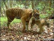 WWF filma raros tigres de Sumatra em área 'a ser desmatada'