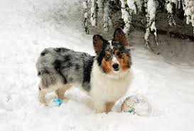 australian shepherd x pomeranian for sale these 25 cute cross breed dogs will make you fall in love with