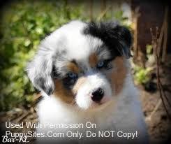 australian shepherd x pomeranian for sale 23 best miniature australian shepherd dogs u0026 puppies images on