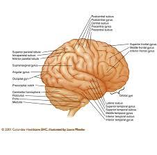 Sheep Brain Anatomy Game Interactive Brain Anatomy Quiz At Best Anatomy Learn