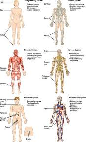 Structure Of Human Anatomy List Of Systems Of The Human Body Wikipedia